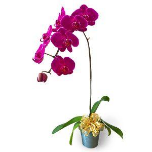 Purple Phalaenopsis Orchid potPurple Phalaenopsis Orchid pot