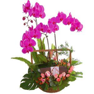 Sweet Return, Phalaenopsis Orchid pot