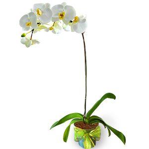 White Phalaenopsis Orchid pot
